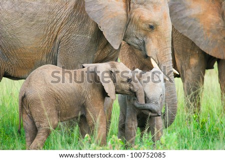 Two baby elephants playing, Masai Mara, Kenya - stock photo