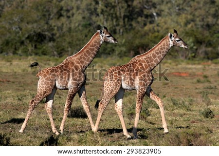 Two baby giraffe walking past in this wildlife photo taken in South Africa - stock photo