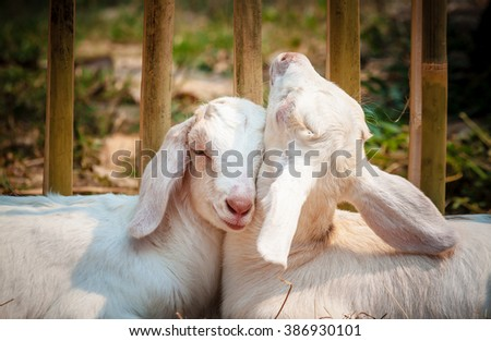 Two baby goats sleeping in love - stock photo