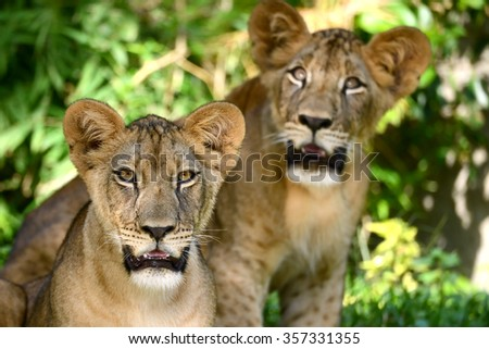 Two baby lion cute face