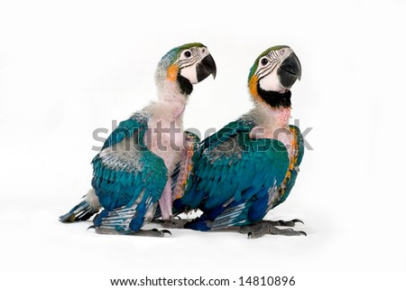 two baby macaws 6 weeks old - stock photo