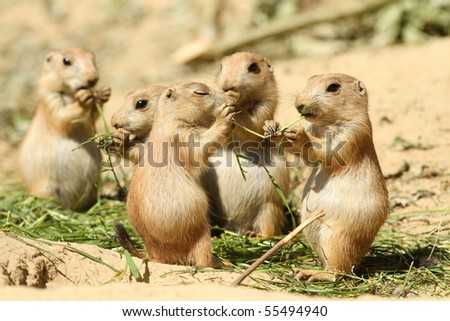 Two baby prairie dog eating the same piece of grass - stock photo