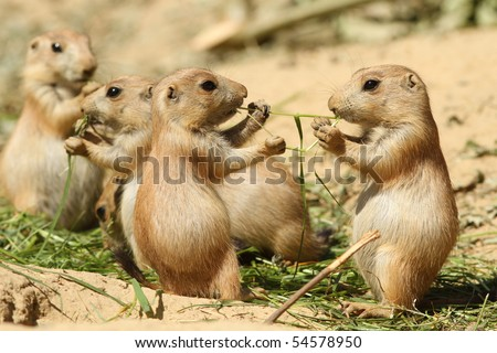Two baby prairie dog sharing their food - stock photo
