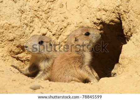 Two baby prairie dogs - stock photo