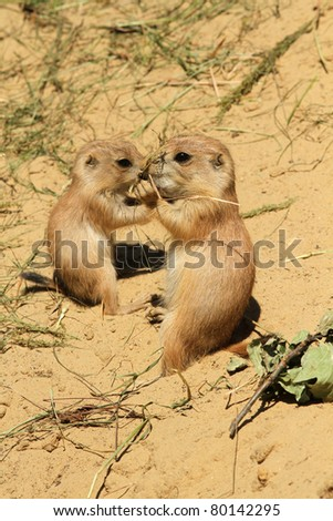 Two baby prairie dogs eating - stock photo