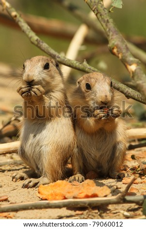 Two baby prairie dogs eating (focus on the right one) - stock photo
