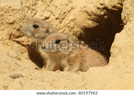 Two baby prairie dogs (focus on the first one) - stock photo