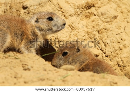 Two baby prairie dogs (focus on the left one) - stock photo
