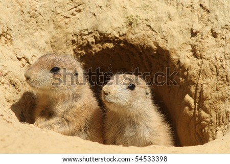 Two baby prairie dogs looking out of their burrow - stock photo