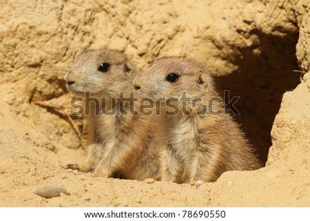 Two baby prairie dogs looking out of their burrow (focus on the first one) - stock photo