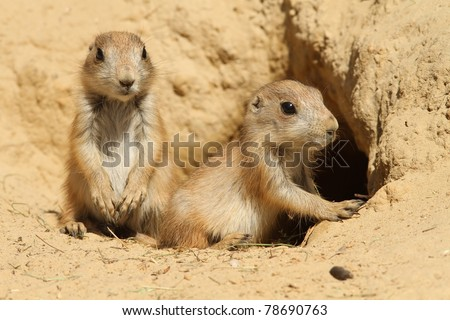 Two baby prairie dogs looking out of their burrow (focus on the right one) - stock photo