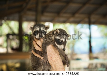 Two baby racccoons at an animal rescue shelter in Costa Rica