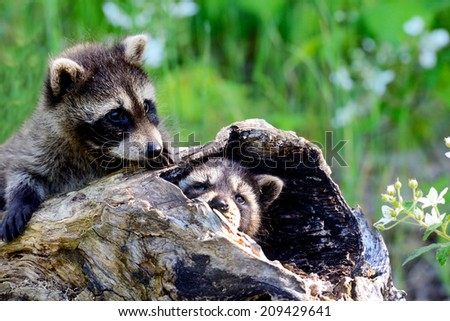 Two baby raccoon in a log tree.  - stock photo