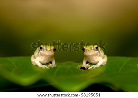 Two Baby Tree frog on the leaf (Hyla chinensis) - stock photo