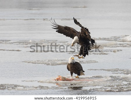 Two bald eagles fight over a fish  on the ice on the Mississippi River along the Great River Road  near Alton, Illinois.
