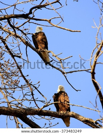 Two bald eagles on a tree