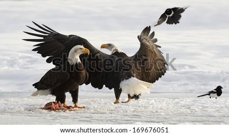 Two Bald Egles (HALIAEETUS LEUCOCEPHALUS) eat a salmon on snow - stock photo