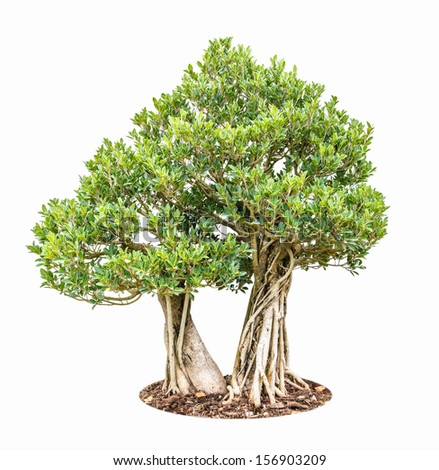 two banyan fig trees as bonsai isolated on white background - stock photo
