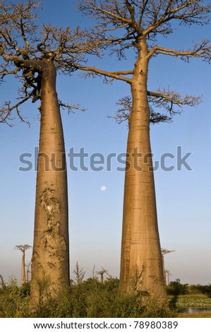 Two baobabs and full moon - stock photo