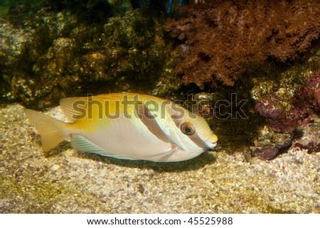 Two Barred Rabbitfish in Aquarium - stock photo