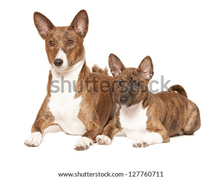 two basenji dogs isolated over white background - stock photo