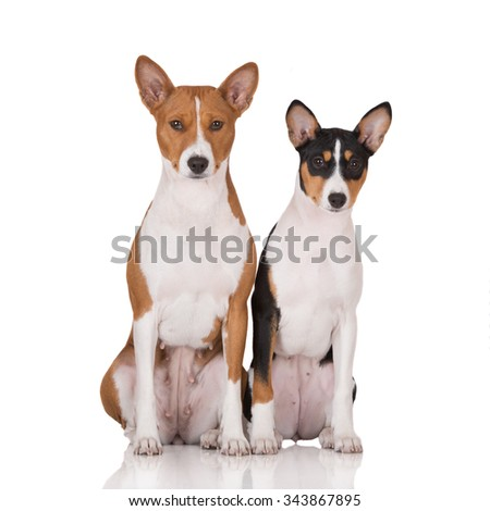 two basenji dogs sitting on white