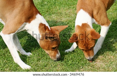 Two Basenjis, African hunting hounds, have found a treat. They are showing their typical wrinkle - stock photo