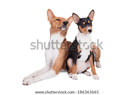 Two Basenjis (3 years and 3 month old) on white - stock photo