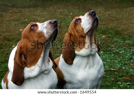 two basset hounds looking up