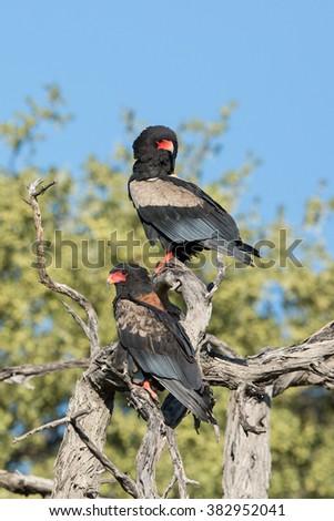 Two Bateleur Eagles in tree in Khwai Reserve in Botswana - stock photo