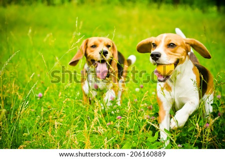 two beagle dog on a green grass - stock photo