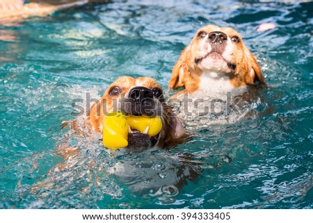 Two beagle dog swimming in the pool - stock photo