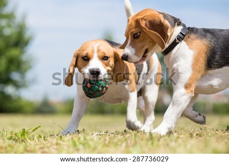 Two Beagle dogs playing with one toy - stock photo