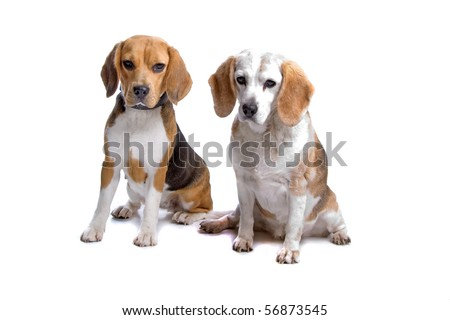 two beagle dogs sitting and looking at camera, isolated on a white background - stock photo