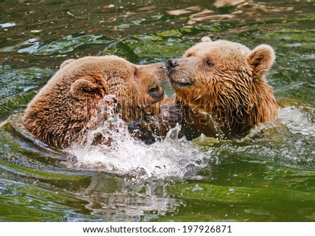 Two bears fighting in water. - stock photo