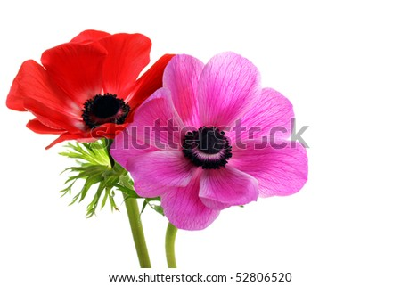 Two beautiful anemone flowers, one red and one pink, on a white background with copy space.
