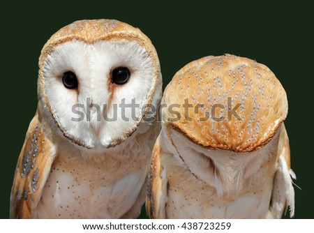 Two beautiful barn owls. The barn owl is the most widely distributed species of owl, and one of the most widespread of all birds. Shallow depth, selective focus. - stock photo