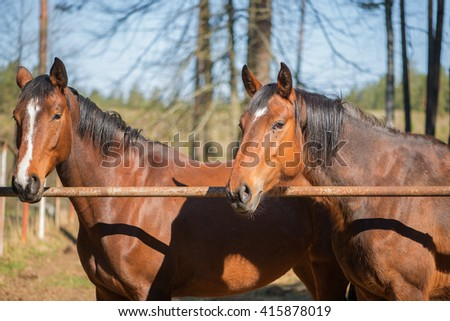 Two beautiful bay horse couple portrait  - stock photo