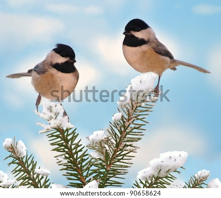 Two beautiful Black- capped Chickadees (Poecile atricapillus) on a snowy spruce branch. - stock photo