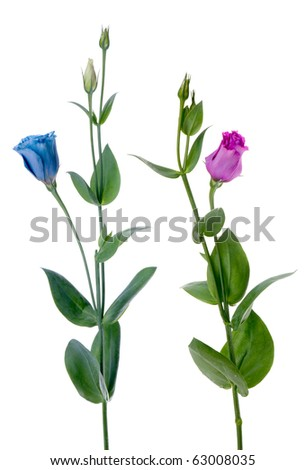 Two beautiful blue and violet flowers isolated on white background. - stock photo