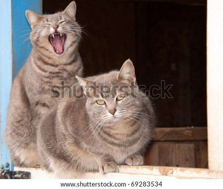 Two beautiful blue tabby cats on top of a Dutch door of a blue barn - stock photo