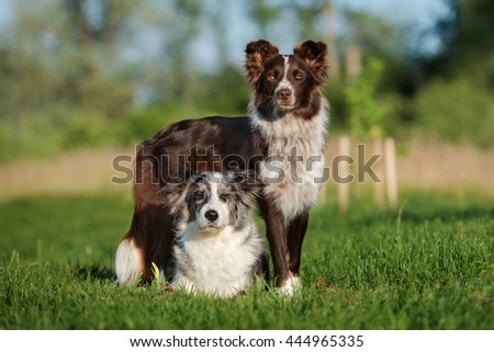 two beautiful border collie dogs posing together