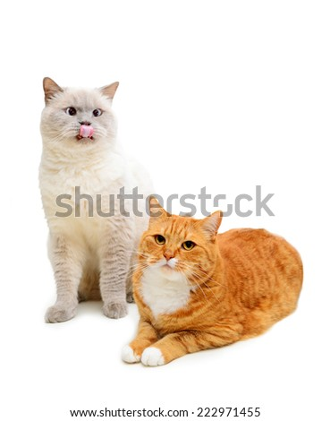 two beautiful british shorthair cat on a white background, red and white - stock photo