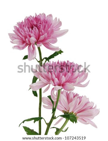 Two beautiful chrysanthemum isolated on white - stock photo