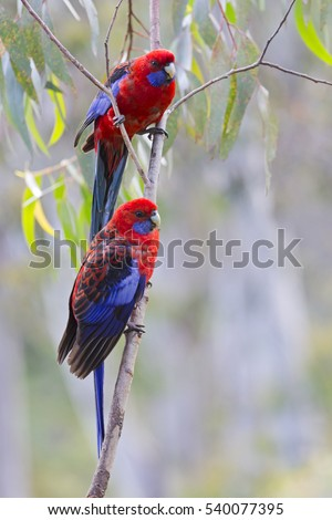 Two Beautiful Crimson Rosella's. Native Australian Parrots