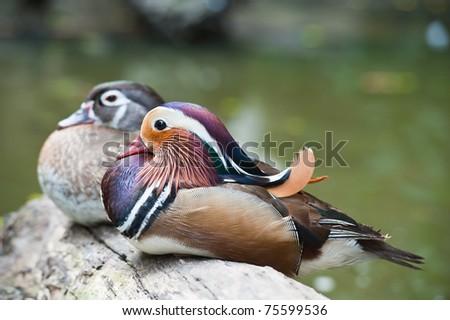 Two Beautiful Ducks - stock photo