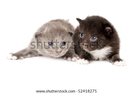 two beautiful fluffy little kitten, lie on white background, isolated