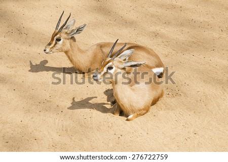 Two beautiful gazelles lying on the sand - stock photo
