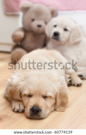 Two beautiful golden retriver puppies - stock photo
