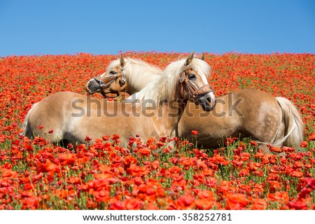 Two beautiful Haflinger horses in the poppy field - stock photo